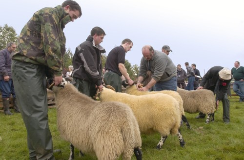 Showing Sheep